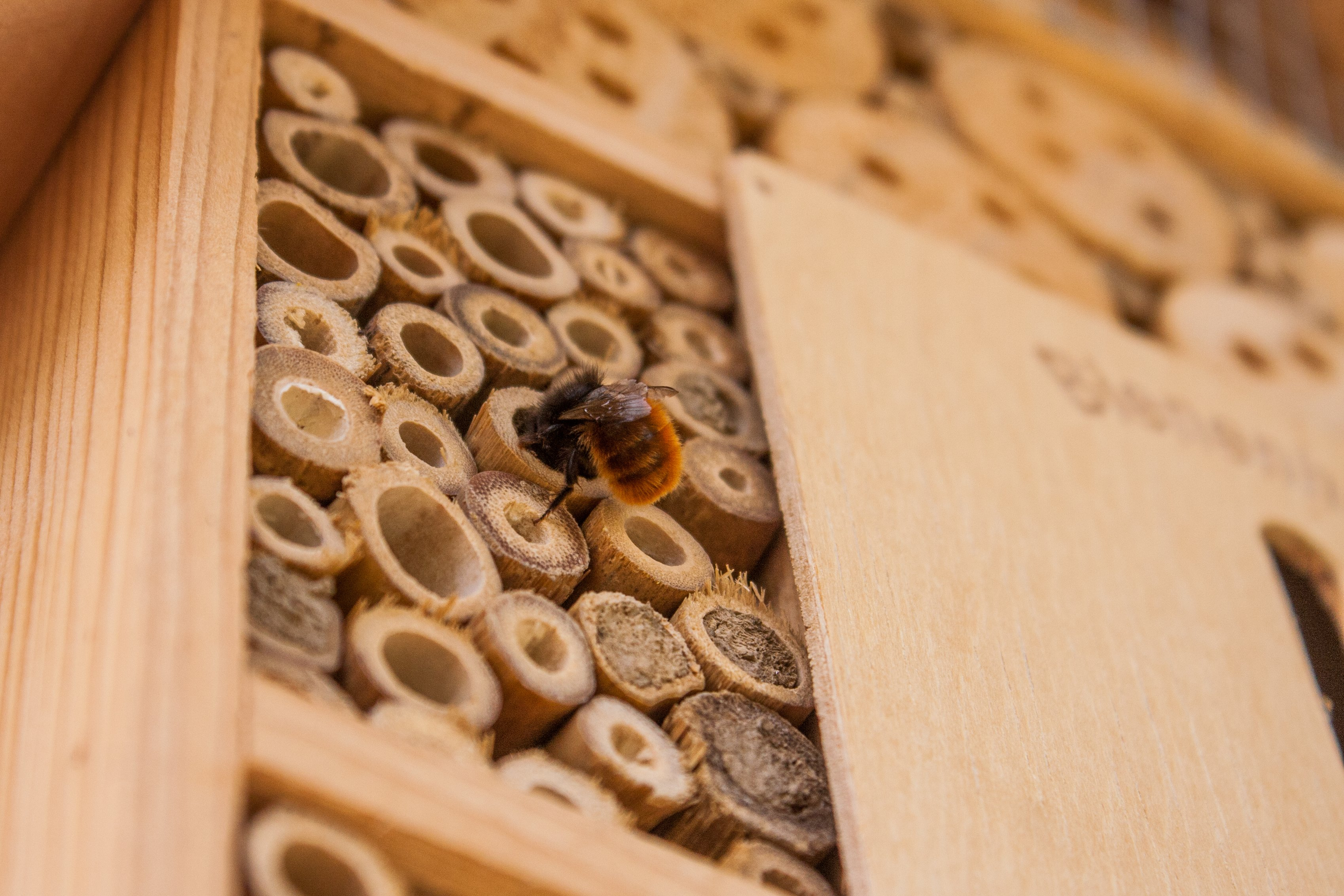 Meet the Mason Bee: A Solution to Declining Honeybee Populations